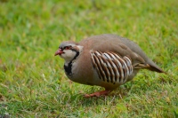 Male chukar partridge foraging.