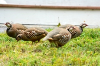 Chukar partridges foraging on a front lawn.