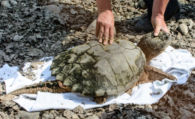 Turtle Immediately After Rescue