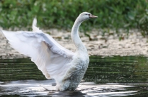 Mute Swan on Charles River