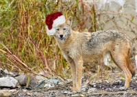 Holiday Coyote