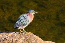 Green Heron at South Natick Dam