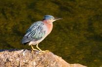 Green Heron at South Natick Dam