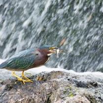 Green Heron with Fish at South Natick Dam