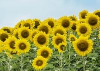 Sunflowers in Millis