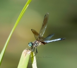Dragonfly at Claxton Field (20140706_082)