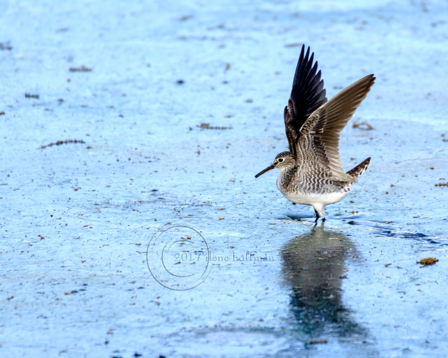 Sandpiper on Rosemary Lake