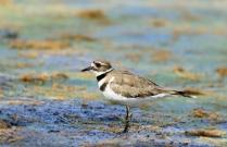 Common Grackle Rosemary Lake
