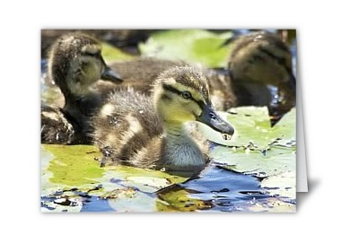 Duck Baby Card