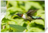 Hummingbird in Flight Card