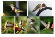 Hummingbirds in Needham