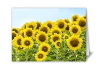 Sunflowers on card