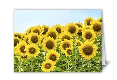 Sunflowers on card