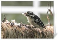 Downy Woodpecker on log card