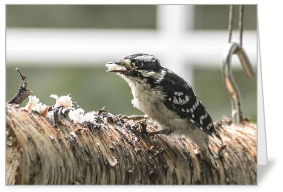 Downy Woodpecker on log card