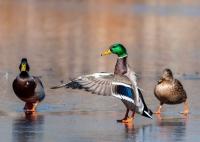 Sliding duck on ice